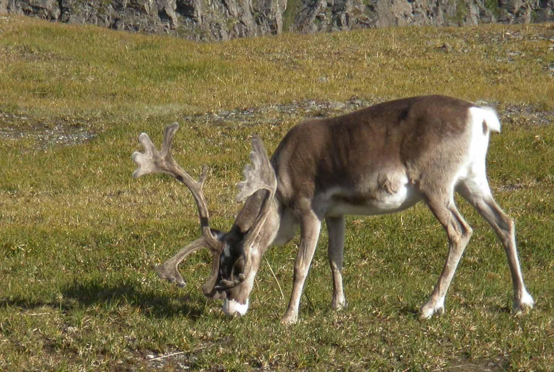 Norway-Nordkapp-Reindeer