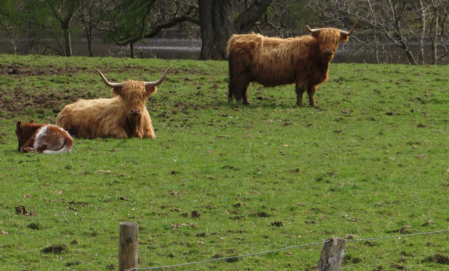Scotland-Highlands-Highland-Cows