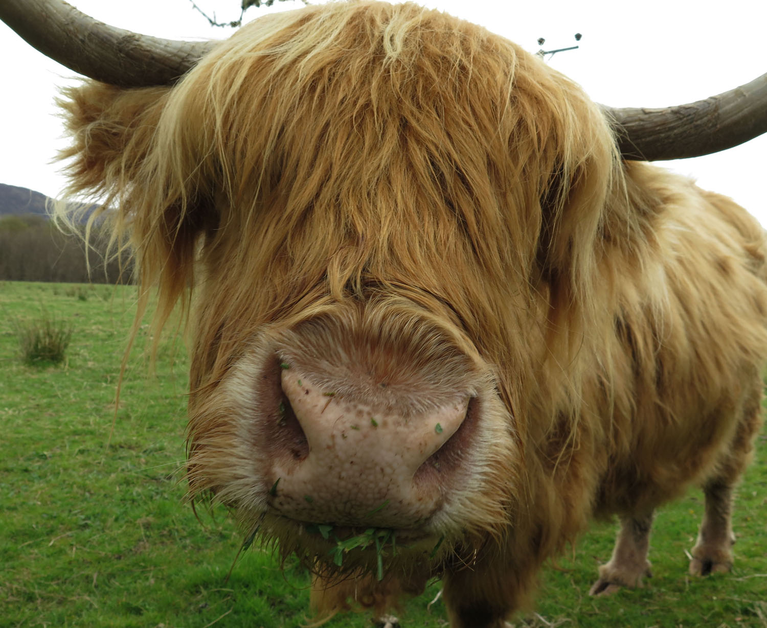 Scotland-Highlands-Highland-Cow