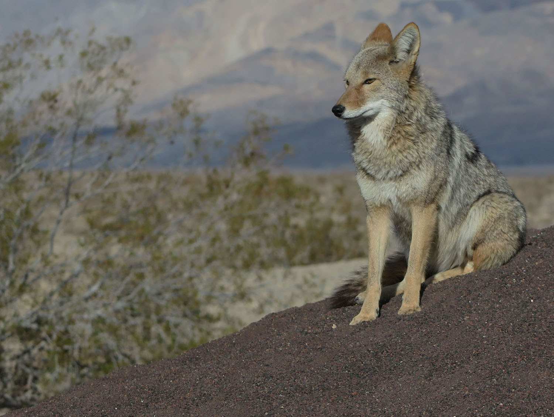 Death-Valley-Wildlife-Coyote