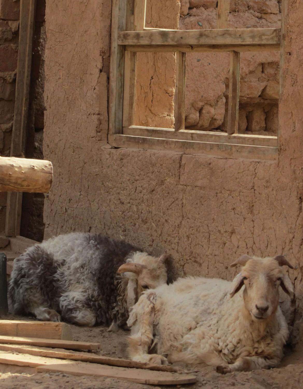 China-Turpan-Tuyoq-Goats