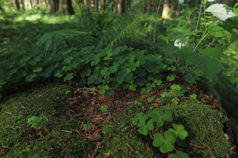 Scotland-Lowlands-Forest-Clover