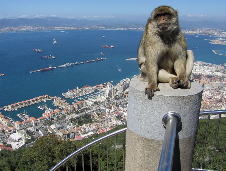 Gibraltar-Barbary-Macaque
