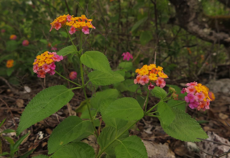 Ecuador-Galapagos-Flora-Daisies