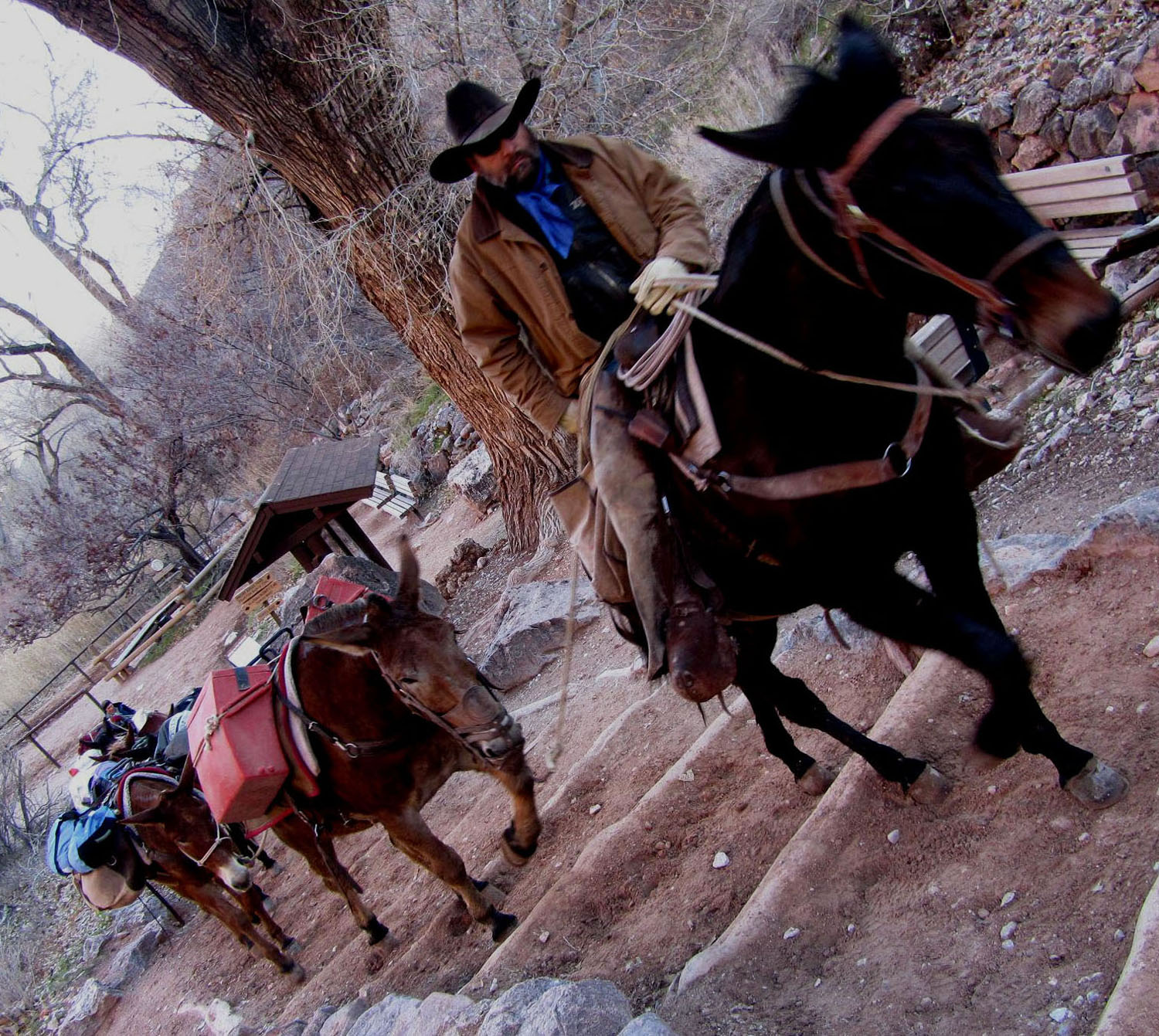 Grand-Canyon-Hike-Out-Indian-Gardens-Mule-Team