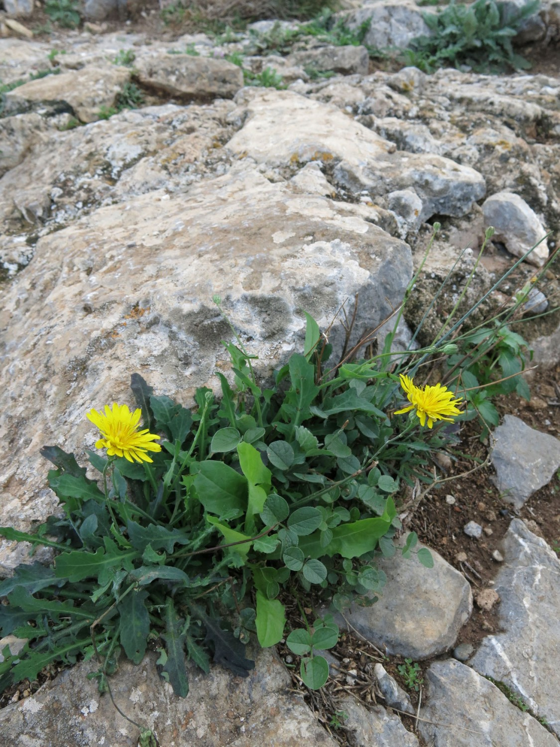 Greece-Hydra-Dandelions