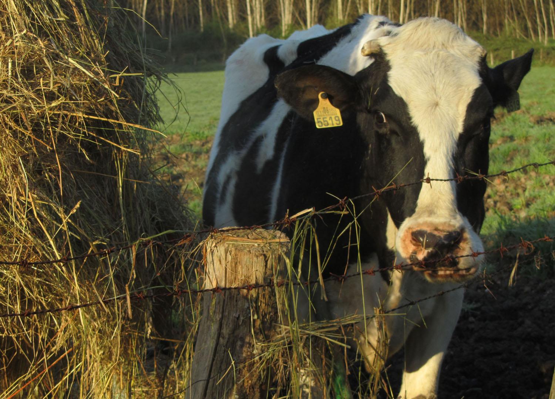 Camino-De-Santiago-Animals-Cows