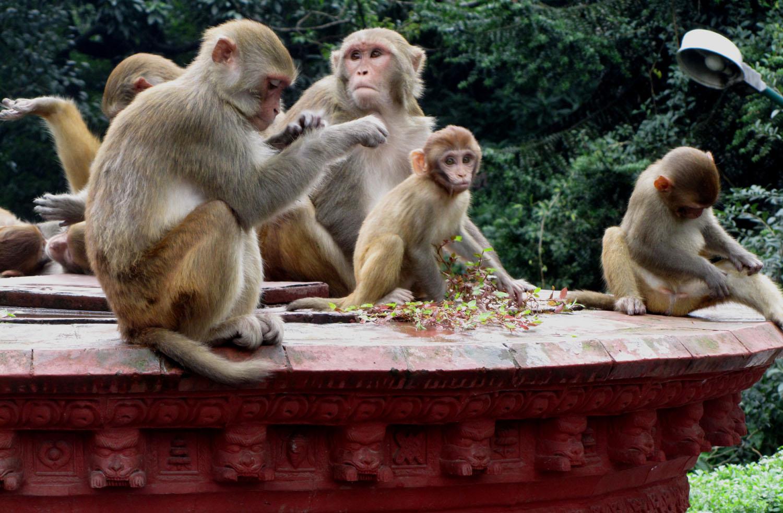 Nepal-Kathmandu-Monkey-Temple-Monkeys