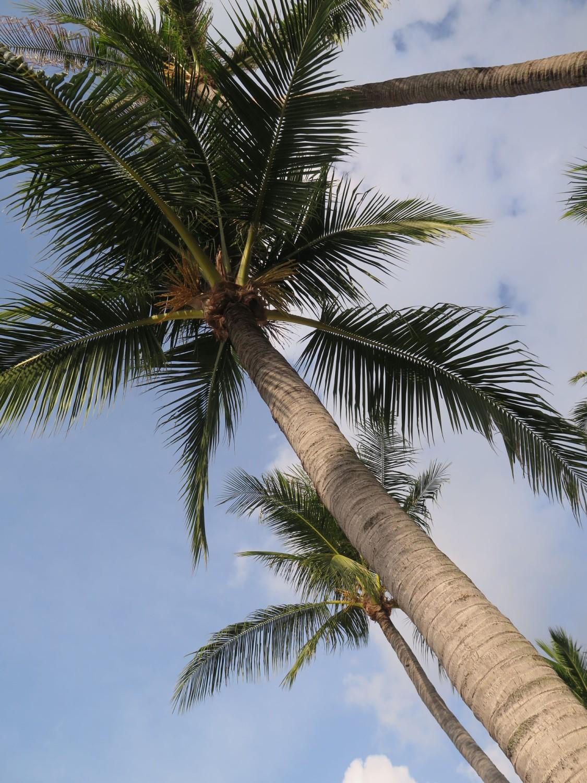 Thailand-Ko-Samui-Palm-Trees