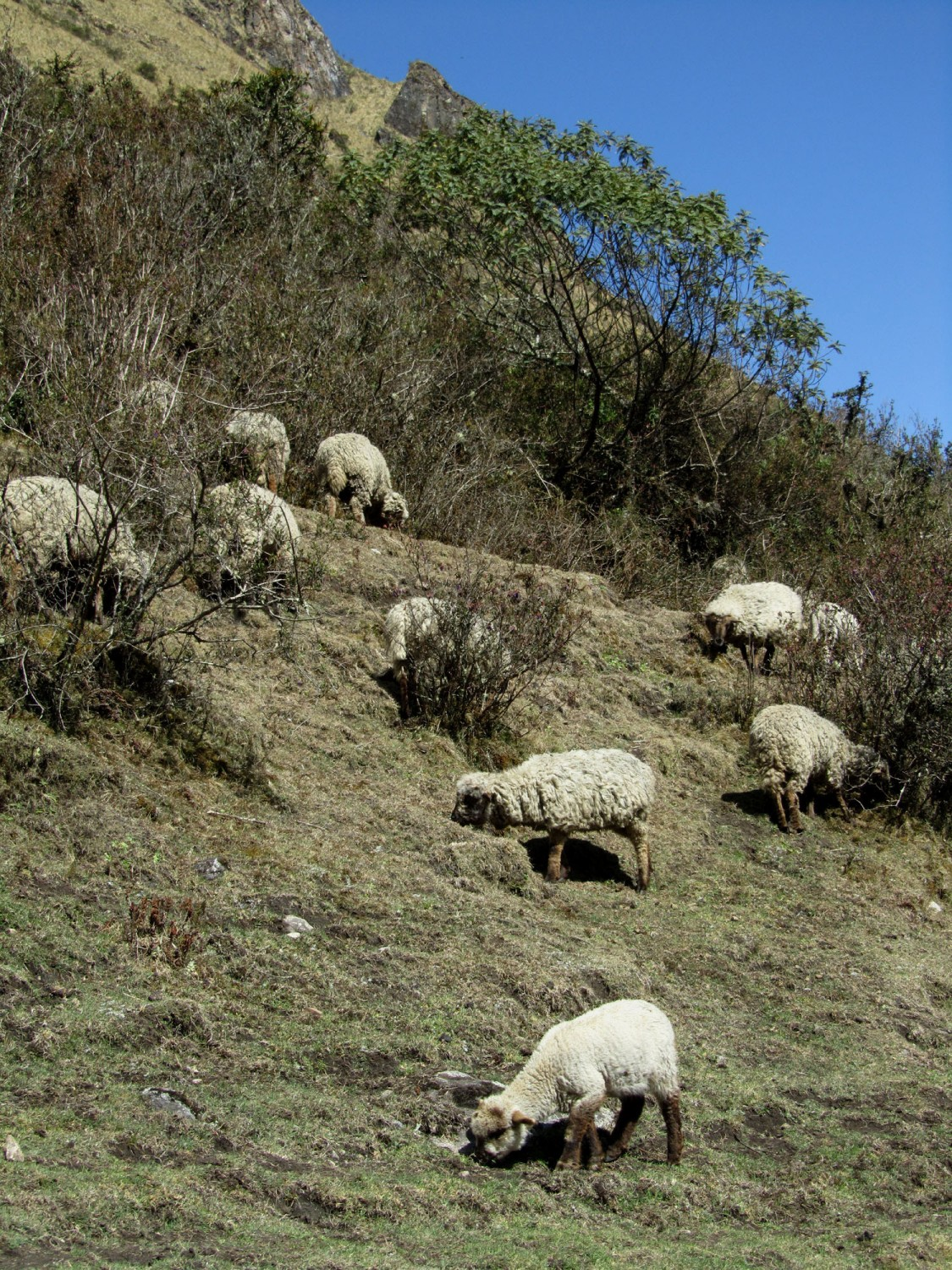 Peru-Salkantay-Trek-Day4-Sheep