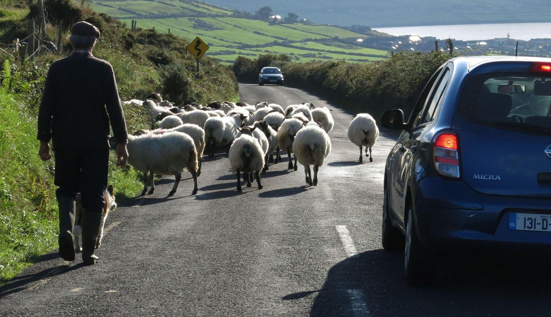 Ireland-Animals-Sheep-Dingle