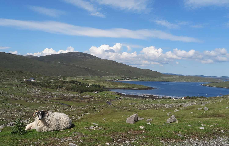 Scotland-Hebrides-Sheep