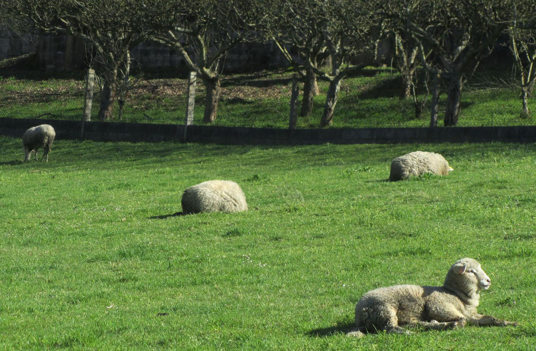 Camino-De-Santiago-Animals-Sheep