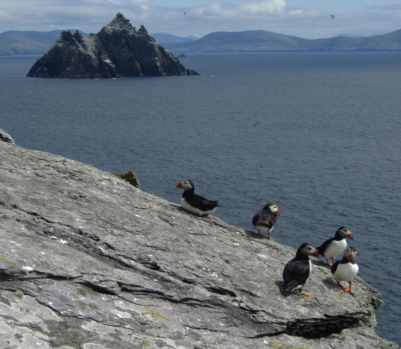 Ireland-Animals-Puffins-Skellig-Islands