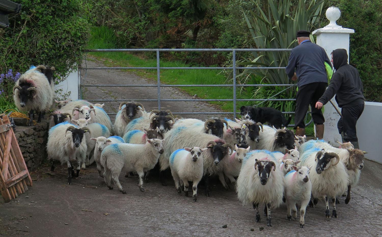 Ireland-Animals-Sheep-Taobh-Coille